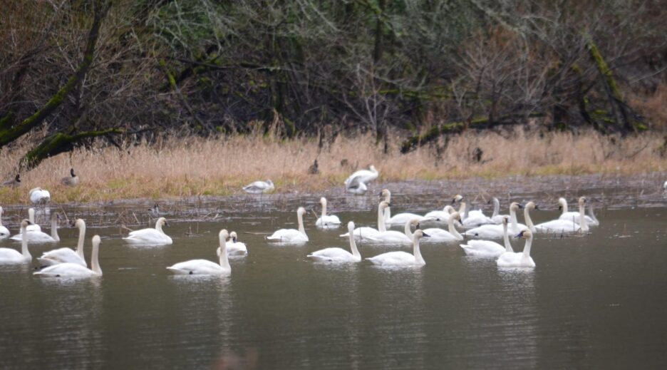 Tundra Swans Return to Mirror Lake Marks the Beginning of Winter, Old Parkdale Inn