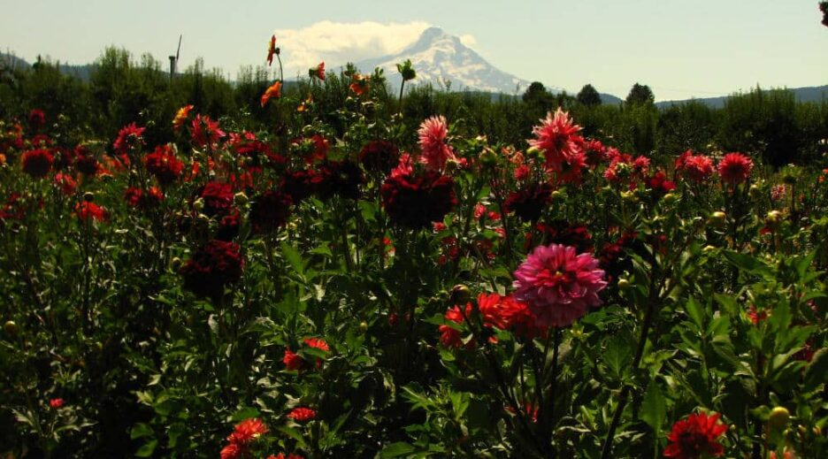 Dahlias Put on a Show in the Hood River Valley, Old Parkdale Inn